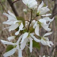 Amelanchier Blossoms