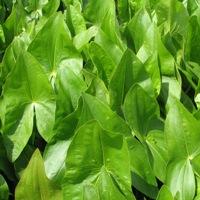 Arrowhead Leaves