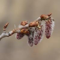 Aspen Buds Popping