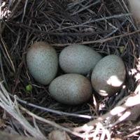 Brown Thrasher Eggs