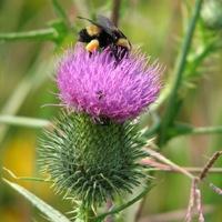 Bumblebee on bull thistle