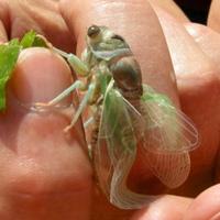 Cicada just emerging