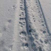 Coyote Tracks in Vehicle Tracks