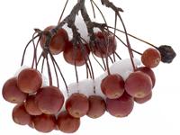 macro photo of red berries in winter snow, photo Don Treddinick