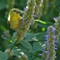 Goldfinch on Hyssop