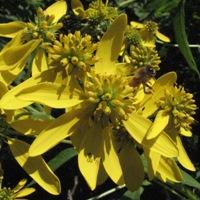 Honeybee on flowers