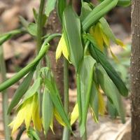 large-flowered bellwort