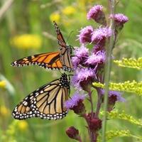 Monarchs on Liatirs
