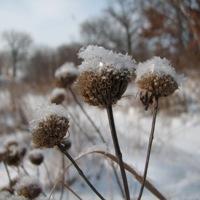 Snow Crowned Monarda