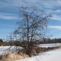 Old Crabapple Tree