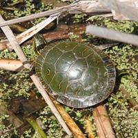 Painted Turtle Basking