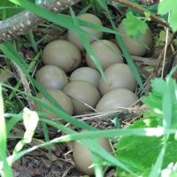 Pheasant Nest