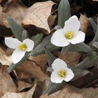 Snow Trilliums