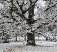 Snow on an Oak